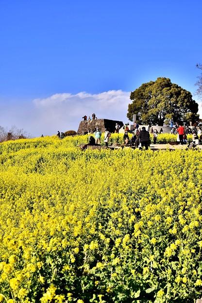 吾妻山公園の菜の花畑。。丘に咲く 20180204