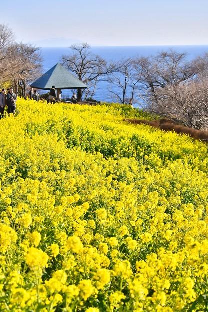 相模湾方面も菜の花で。。(^^)吾妻山公園20180204