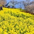 写真: 相模湾方面も菜の花で。。(^^)吾妻山公園20180204