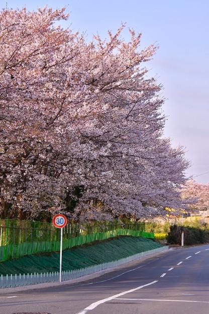 撮って出し。。海軍道路沿いには満開の桜 3月31日