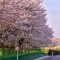 写真: 撮って出し。。海軍道路沿いには満開の桜 3月31日