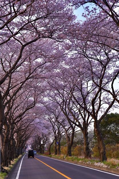 撮って出し。。朝陽が昇って。。海軍道路の桜並木 3月31日