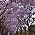 写真: 撮って出し。。朝陽が昇って。。海軍道路の桜並木 3月31日