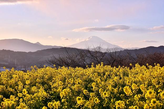 夕暮れになって富士山顔を出して。。菜の花畑と。。吾妻山公園 20180204