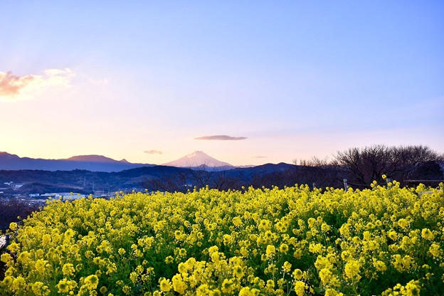 日暮れからまた空が青く。。黄色い菜の花との色彩。。吾妻山公園 20180204