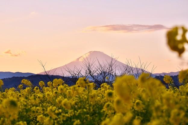 夕焼け空の富士山と菜の花。。吾妻山公園 20180204