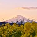 Photos: 夕焼け空の富士山と菜の花。。吾妻山公園 20180204