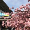 写真: 春の三浦海岸河津桜まつりへ。。20180225