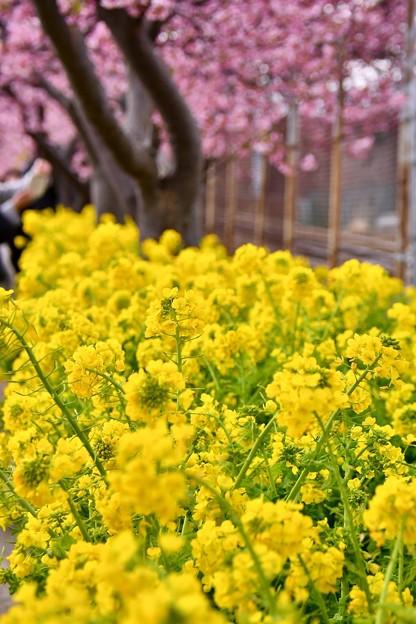 三浦の河津桜と菜の花も満開。。20180225