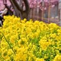 写真: 三浦の河津桜と菜の花も満開。。20180225