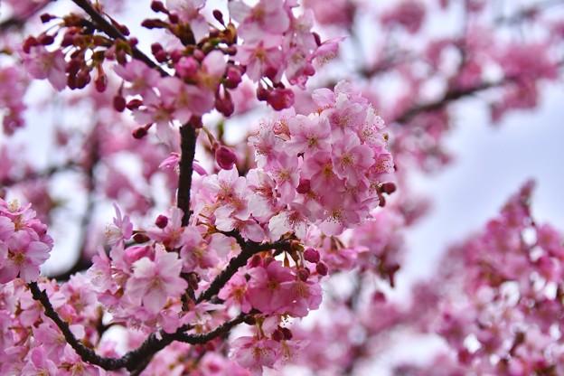 神奈川県三浦の早咲き河津桜も負けない綺麗さ 20180225