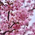 写真: 神奈川県三浦の早咲き河津桜も負けない綺麗さ 20180225