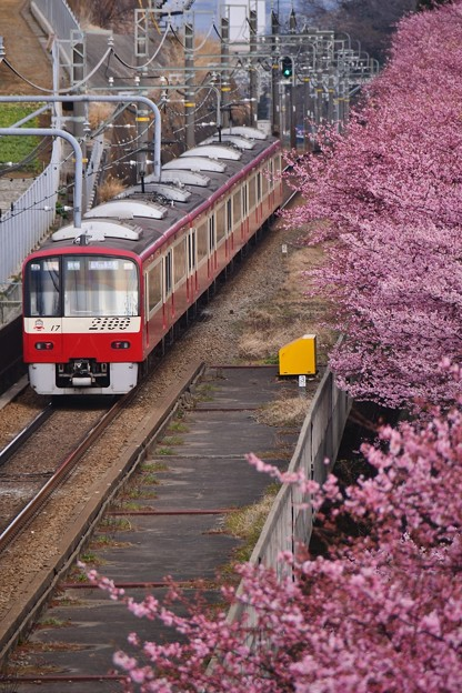Photos: 三浦の河津桜と京急線とのコラボ。。(1) 20180225