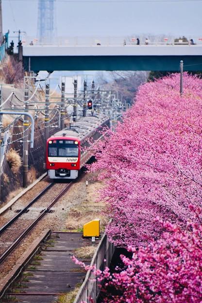 三浦の河津桜と京急線とのコラボ。。(2) 20180225