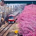 写真: 三浦の河津桜と京急線とのコラボ。。(2) 20180225