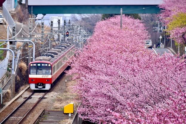 三浦の河津桜と京急線とのコラボ。。(3) 20180225