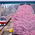 写真: 三浦の河津桜と京急線とのコラボ。。(3) 20180225