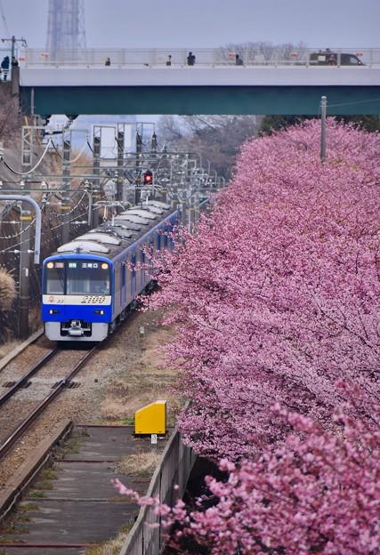 三浦の河津桜と京急線とのコラボ。。(4) 20180225