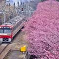 写真: 三浦の河津桜と京急線とのコラボ。。(4) 20180225