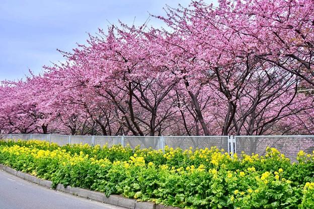 神奈川県三浦の沿道沿いに河津桜と菜の花満開 20180225