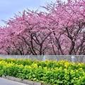 写真: 神奈川県三浦の沿道沿いに河津桜と菜の花満開 20180225