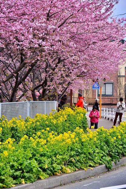 神奈川県三浦の河津桜 通り道に咲く 20180225