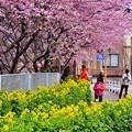 写真: 神奈川県三浦の河津桜 通り道に咲く 20180225