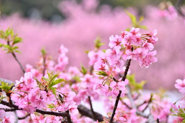 伊豆河津町の綺麗なピンクの河津桜。。(1) 20180306