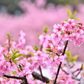 写真: 伊豆河津町の綺麗なピンクの河津桜。。(1) 20180306