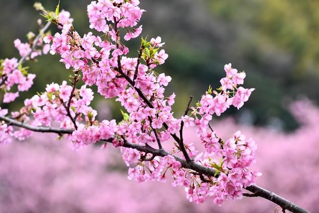 伊豆河津町の綺麗なピンクの河津桜。。(2) 20180306