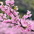 写真: 伊豆河津町の綺麗なピンクの河津桜。。(2) 20180306