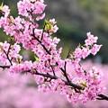 Photos: 伊豆河津町の綺麗なピンクの河津桜。。(2) 20180306