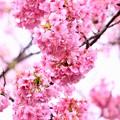 写真: 伊豆河津町の綺麗なピンクの河津桜。。(3) 20180306