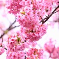 伊豆河津町の綺麗なピンクの河津桜。。(3) 20180306