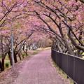 Photos: 伊豆河津町の河津桜寂しく終わりへ。。20180306