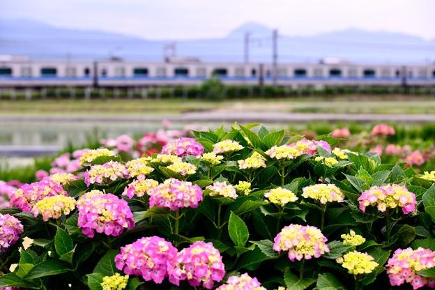 撮って出し。。まだ少し早い紫陽花と小田急線 5月26日