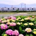 写真: 撮って出し。。まだ少し早い紫陽花と小田急線 5月26日