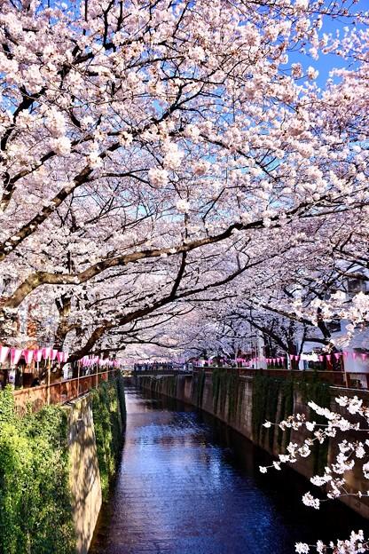 朝の目黒川の満開の桜。。(1)  20180325