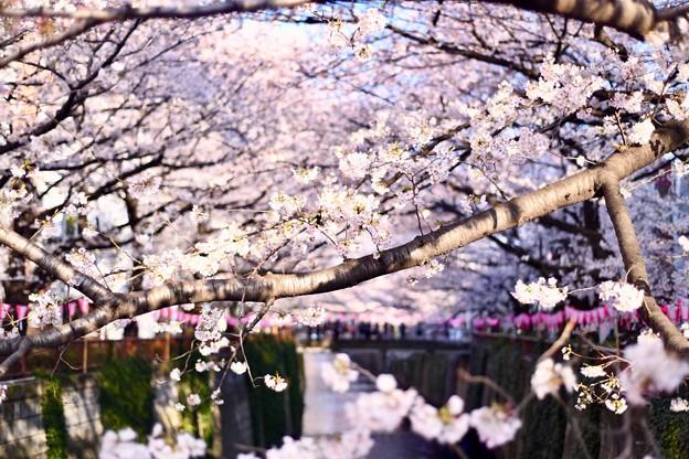 朝の目黒川の満開の桜。。(2)  20180325
