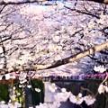 Photos: 朝の目黒川の満開の桜。。(2)  20180325