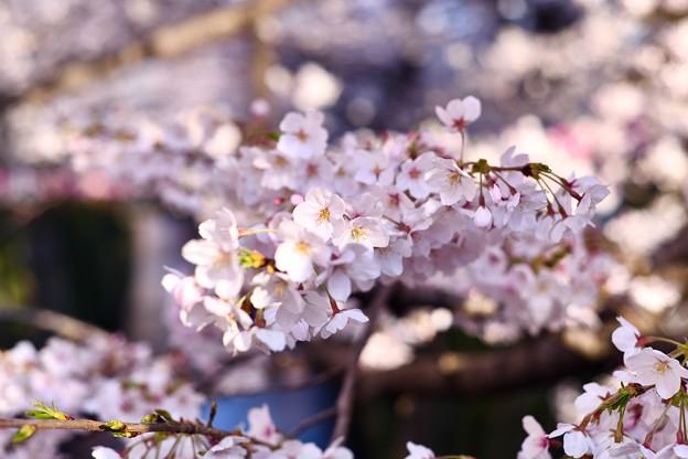 朝の目黒川の満開の桜。。(3)  20180325