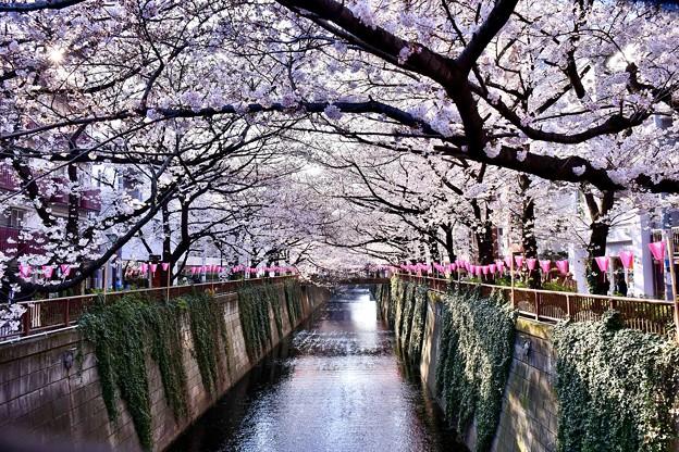 朝の目黒川の満開の桜。。(4)  20180325