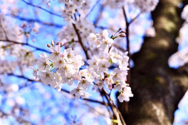 朝の目黒川の満開の桜。。(5)  20180325