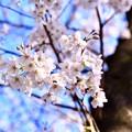 Photos: 朝の目黒川の満開の桜。。(5)  20180325