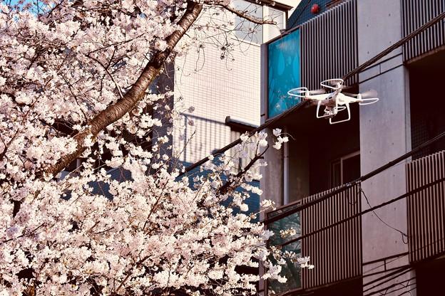 目黒川の桜をドローンで撮影。。20180325