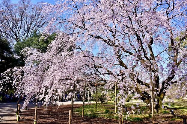 天気のいい日に六義園へ 枝垂れ桜 20180325