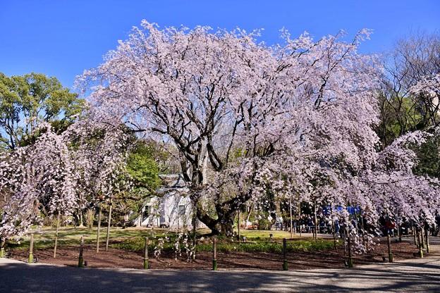 歴史ある六義園の見事な枝垂れ桜 20180325