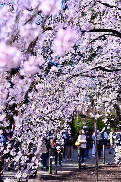 六義園の枝垂れ桜の中から。。(^^) 20180325