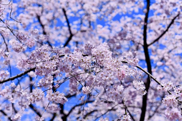 青空と六義園枝垂れ桜。。20180325