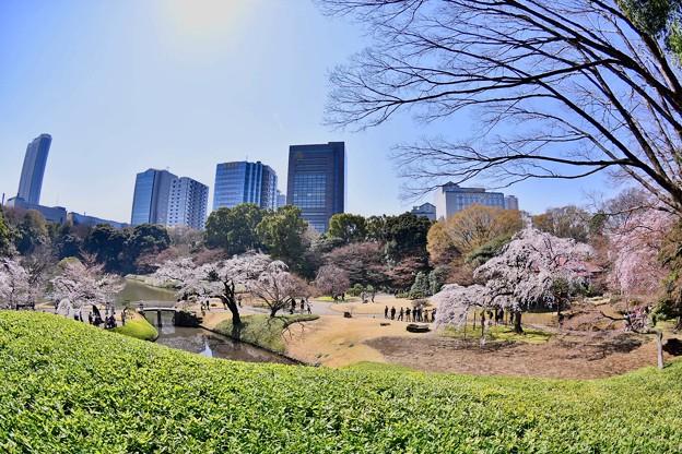 春は都会のオアシス。。小石川後楽園の桜 20180325